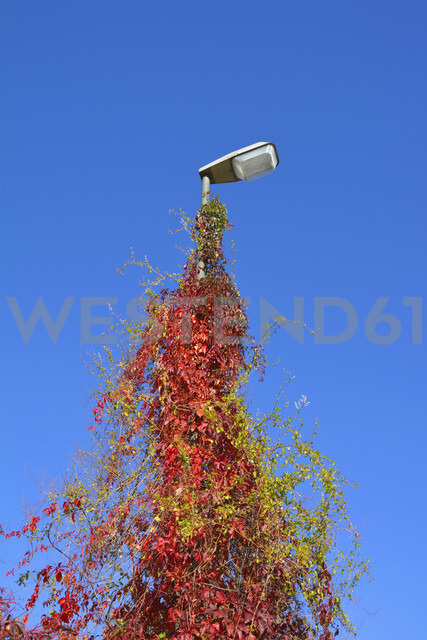 Street light covered of autumnal creeping plant - AXF00825