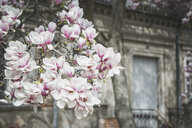 Magnolia blossoms in front of an old house - ASCF00955