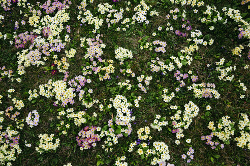 Flower meadow with many primroses in different colours - HMEF00330