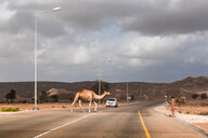 Sultanate Of Oman, A camel is crossing a road - WVF01131