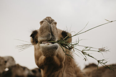 United Arab Emirates, Dubai, portrait of chewing eating camel - LHPF00533