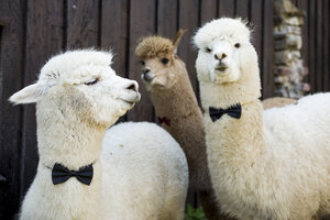 Three tame alpacas wearing bow ties - FLLF00108