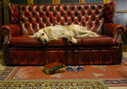 Golden retriever dog resting on an antique sofa - MGOF04018