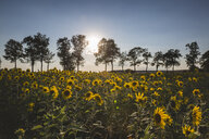 Germany, sunflower field at sunset - ASCF00959
