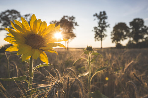 Germany, sunflower on a field at evening twilight - ASCF00962