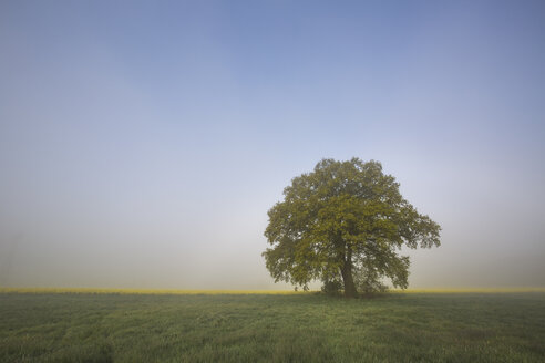 Germany, Brandenburg, single oak tree at morning mist - ASCF00969