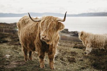 UK, Scotland, Highland, longhorn cattle on pasture - LHPF00644