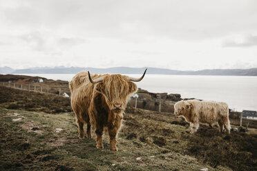UK, Scotland, Highland, longhorn cattle on pasture - LHPF00647