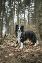 Border Collie in the forest - DWF00405