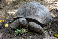 Seychelles, portrait of giant tortoise, close-up - NDF00882