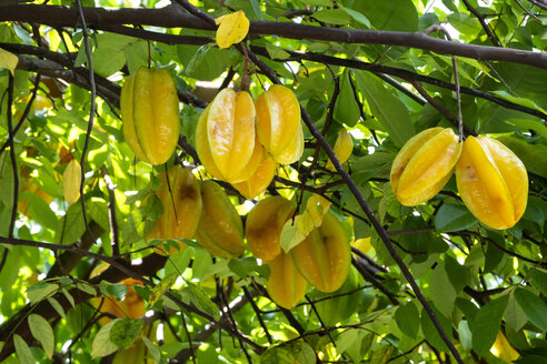 Seychelles, La Digue, star fruits at tree - NDF00888