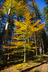 Germany, Bavaria, copper beech in autumnal forest - HSIF00542