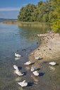 Germany, Baden-Wuerrttemberg, Lake Constance, Mainau, mute swans and other water birds at lakeshore - SH02139