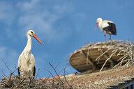 Germany, Baden-Wuerrttemberg, Lake Constance, Salem, white storks in nest - SH02166