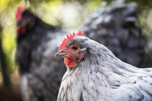 Portrait of Orpington hen - JATF01140