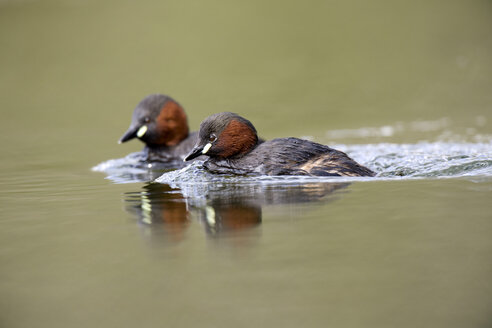Scotland, two swimming Little Grebes - MJOF01695