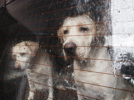 Close-up two labrador race dogs behind the window with rain from a van - OCMF00417
