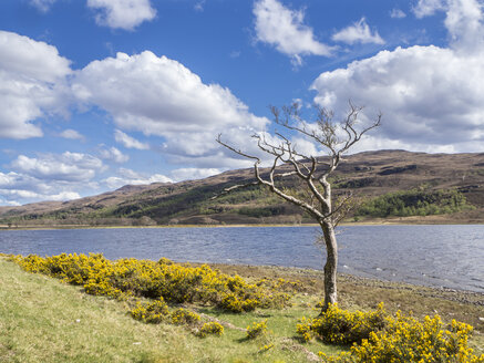Großbritannien, Schottland, Northwest Highlands, Ullapool River, Baum am Flussufer - HUSF00033