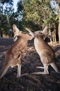 Australia, Queensland, red kangaroos play fighting - GEMF02936