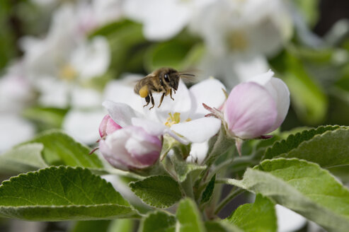 Bee on an apple blossom, Bavaria, Germany - CRF02853
