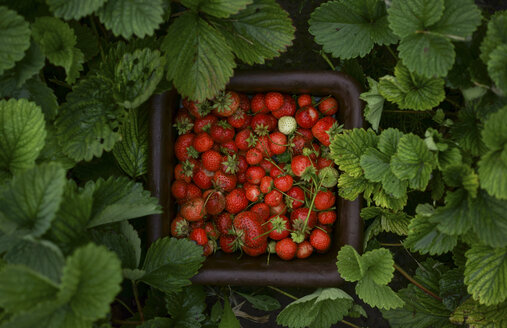 Close up of strawberries in basket - BLEF00346