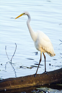 Germany, Bavaria, Chiemsee, great white egret standing on log - ZCF00776