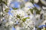 Cherry tree blossom - ASCF01000