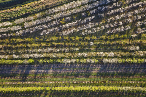 Rows of cherry trees in an orchard in spring, aerial view - ASCF01003