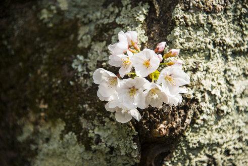 Kyotot, Japan, white cherry blossoms - RUNF01921