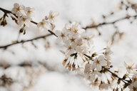 Japan, Tokio, Chidorigafuchi Park, cherry tree blossom - LHPF00704