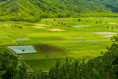 Taro fields near Hanalei on the island of Kauai, Hawaii - RUNF01928