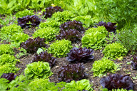 Bed with salad and parsley - NDF00929