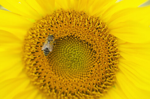 Foraging bee on sunflower, close-up - ASF06393