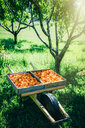 Peaches in wheelbarrow near trees - BLEF03236
