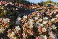 Spain, Canary Islands, Lanzarote, Ice plant , Mesembryanthemum crystallinum - SIEF08628
