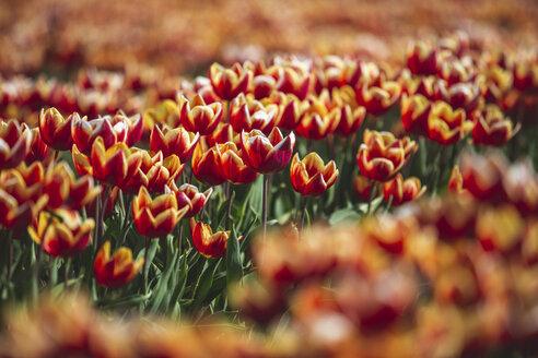 Germany, tulip field - ASCF01016