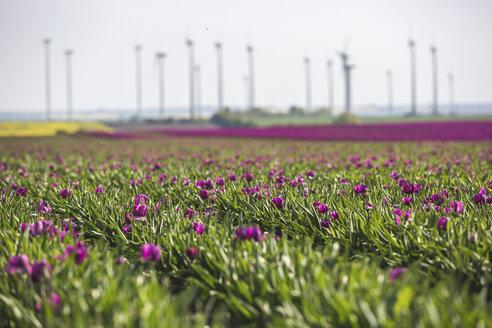 Germany, pink tulip field - ASCF01022