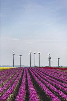 Germany, pink tulip field - ASCF01031