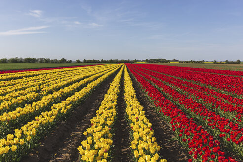 Germany, red and yellow tulip fields - ASCF01034