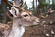 France, Pyrenees, portrait of young deer with in the woods - GEMF02957