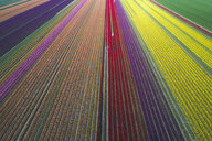 Germany, Saxony-Anhalt, aerial view of tulip fields - ASCF01041