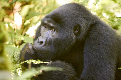 Africa, Uganda, Bwindi Impenetrable Forest, Gorilla in the forest - VEGF00214
