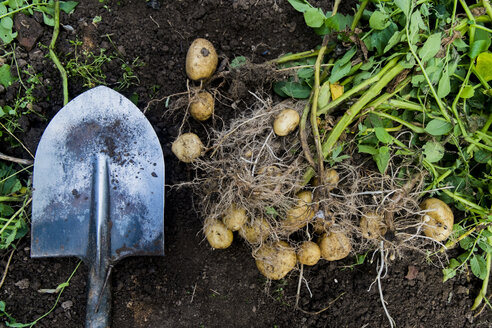 Potatoes and shovel in garden dirt - BLEF03553