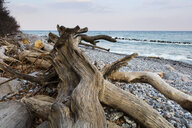 Fallen tree at stony beach, Jasmund National Park, Ruegen, Germany - WIF03903