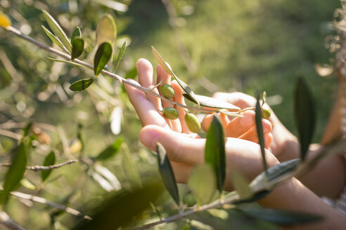 Italy, Tuscany, Green olives on tree, Olea europaea - OJF00350
