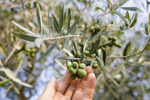 Italy, Tuscany, Green olives on tree, Olea europaea - OJF00353