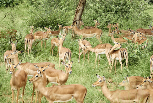 South Africa, Mpumalanga, Kruger National Park, Group of impalas in the bush - VEGF00216