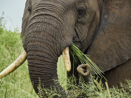 South Africa, Mpumalanga, Kruger National Park, close-up of eating elephant - VEGF00219