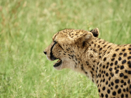 South Africa, Mpumalanga, Kruger National Park, Profile of a cheetah in the savannah - VEGF00225