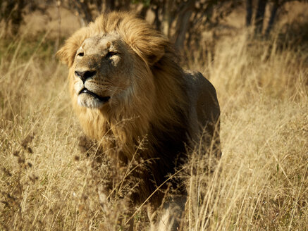 Africa, Botswana, Ihaha, Chobe National Park, Male lion in the savannah - VEGF00237